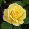 Rosa 'Arthur Bell' - Vrtnarstvo Breskvar