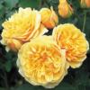 Rosa 'Graham Thomas' - Vrtnarstvo Breskvar