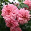 Rosa 'Paul Noel' - Vrtnarstvo Breskvar