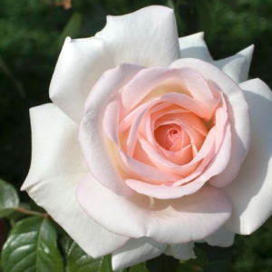 Rosa 'Prince Jardinier' - Vrtnarstvo Breskvar