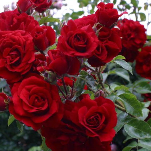 Rosa Amadeus - Vrtnarstvo Breskvar