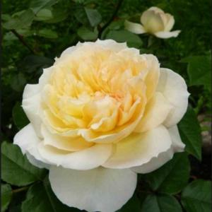 Rosa 'Tchaikovsky' - Vrtnarstvo Breskvar