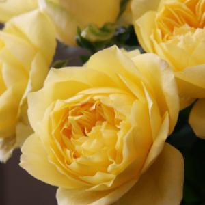 Rosa Toulouse Lautrec - Vrtnarstvo Breskvar