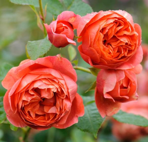 Rosa 'Summer song' - Vrtnarstvo Breskvar