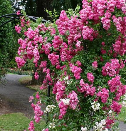 Rosa 'Super Dorothy' grm - Vrtnarstvo Breskvar