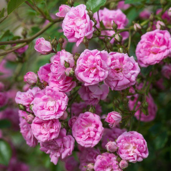 Rosa 'Super_Dorothy' - Vrtnarstvo Breskvar