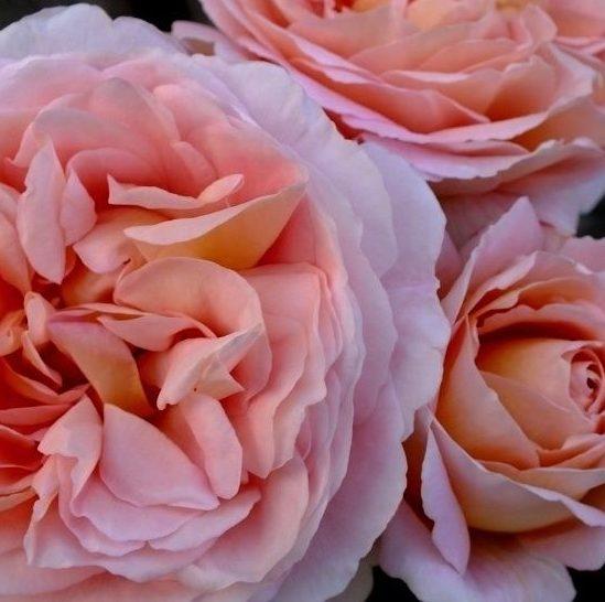 Rosa 'Abraham Darby' - Vrtnarstvo Breskvar