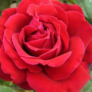 Rosa 'Duftfestival' - Vrtnarstvo Breskvar