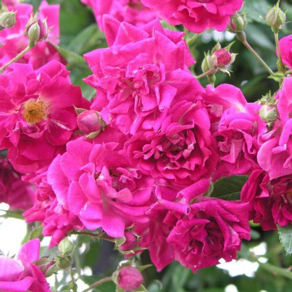 Rosa 'Super excelsa' - Vrtnarstvo Breskvar