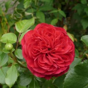 Rosa ' Red Leonardo da Vinci' - Vrtnarstvo Breskvar