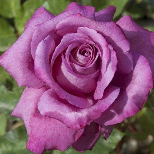 Vrtnarstvo Breskvar vrtnica Claude Brasseur