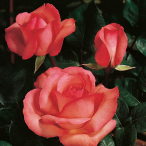vrtnarstvo-breskvar-vrtnica-aachener-dom