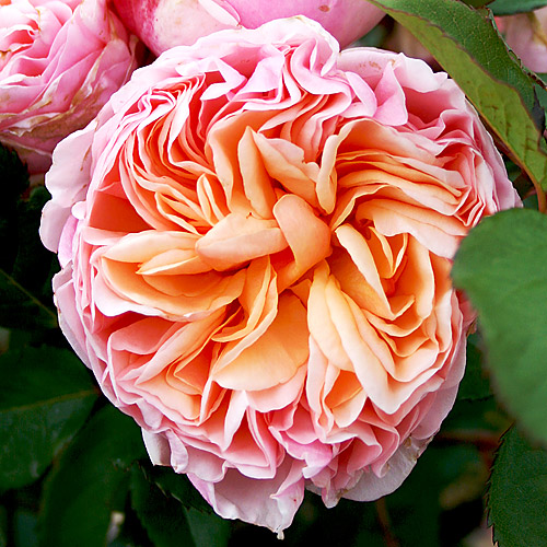 Vrtnarstvo Breskvar Vrtnica Alexandrine