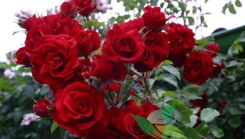 Vrtnarstvo Breskvar vrtnica Amadeus
