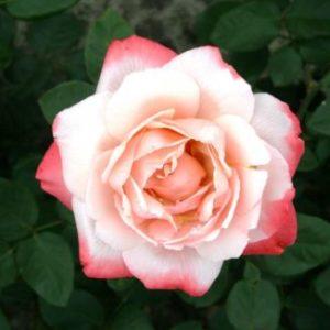 Vrtnarstvo Breskvar vrtnica Arioso