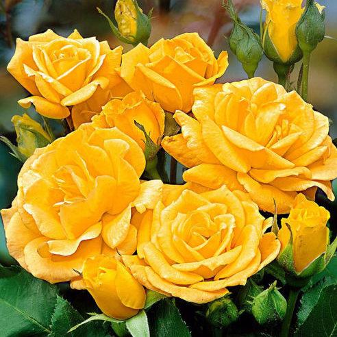 Vrtnarstvo Breskvar vrtnica Arthur bell