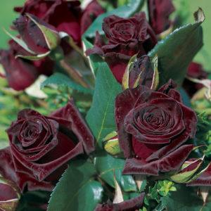 Vrtnarstvo Breskvar vrtnica Black Baccara