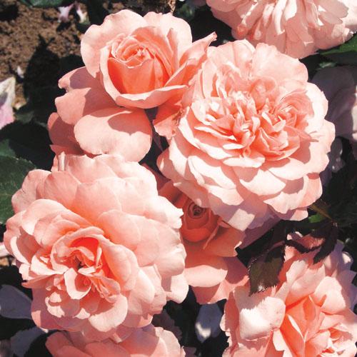 Vrtnarstvo Breskvar vrtnica Botticelli