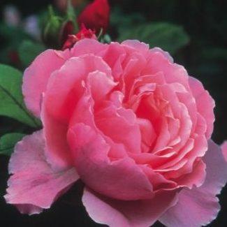 Vrtnarstvo Breskvar vrtnica Brother Cadfael