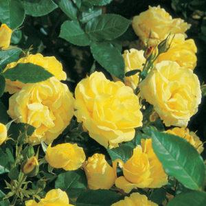 Vrtnarstvo Breskvar vrtnica Carte Dor