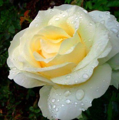 Vrtnarstvo Breskvar vrtnica Chopin
