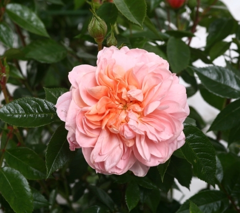 Vrtnarstvo Breskvar vrtnica Colette