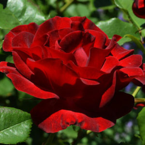 Vrtnarstvo Breskvar vrtnica Dame De Coeur