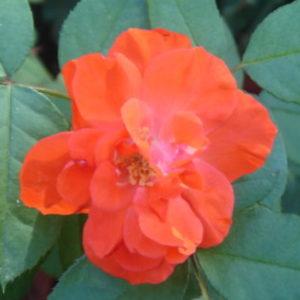 Vrtnarstvo Breskvar vrtnica Diablotin