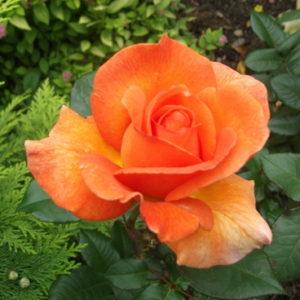 Vrtnarstvo Breskvar vrtnica Doris Tysterman