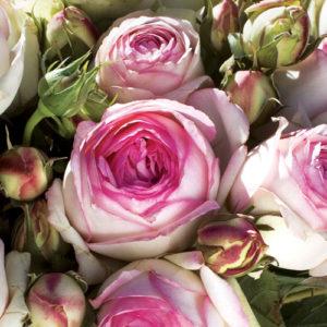 Vrtnarstvo Breskvar vrtnica Eden Rose 85