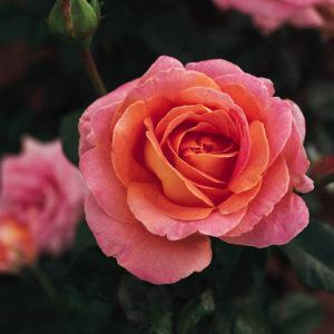 Vrtnarstvo Breskvar vrtnica Elle