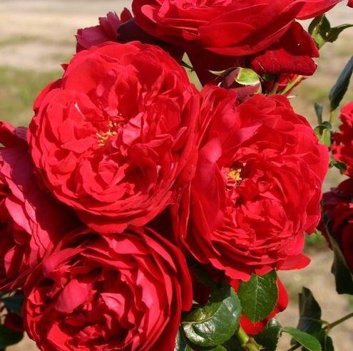 Vrtnarstvo Breskvar vrtnica Florentine
