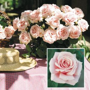 Vrtnarstvo Breskvar vrtnica Frederic Mistral