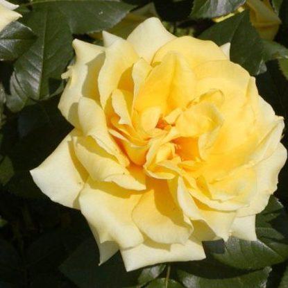 Vrtnarstvo Breskvar vrtnica Freesia