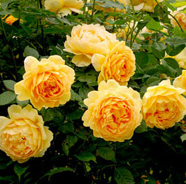 Vrtnarstvo Breskvar vrtnica Golden Celebration