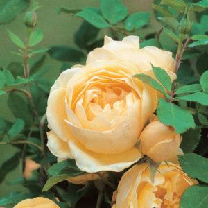 Vrtnarstvo Breskvar Vrtnica Graham Thomas