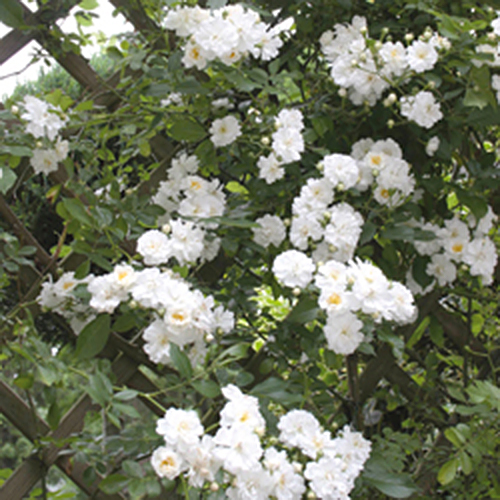 Vrtnarstvo Breskvar vrtnica Guirlande D`Amour