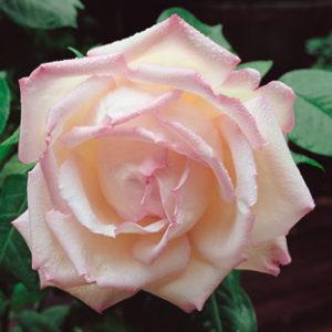 Vrtnarstvo Breskvar vrtnica Honore De Balzac