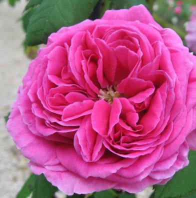 Vrtnarstvo Breskvar vrtnica Isaak Perriere
