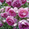 Vrtnarstvo Breskvar vrtnica Jasmina