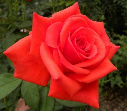 Vrtnarstvo Breskvar vrtnica Kanegem