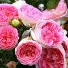 Vrtnarstvo Breskvar vrtnica Kurfuerstin Sophie