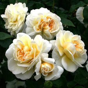 Vrtnarstvo Breskvar vrtnica Lady Romantica