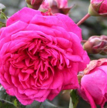 Vrtnarstvo Breskvar vrtnica Laguna