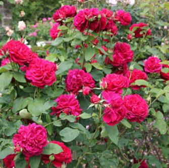 Vrtnarstvo Breskvar vrtnica ld Braithwaite