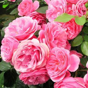 Vrtnarstvo Breskvar vrtnica Leonardo Da Vinci