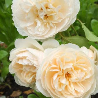 Vrtnarstvo Breskvar vrtnica Lichfield Angel