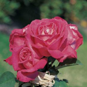 Vrtnarstvo Breskvar vrtnica Mainauduft