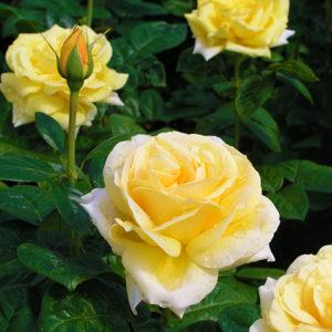 Vrtnarstvo Breskvar vrtnica Marco Polo