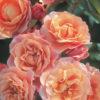Vrtnarstvo Breskvar vrtnica Marie Curie